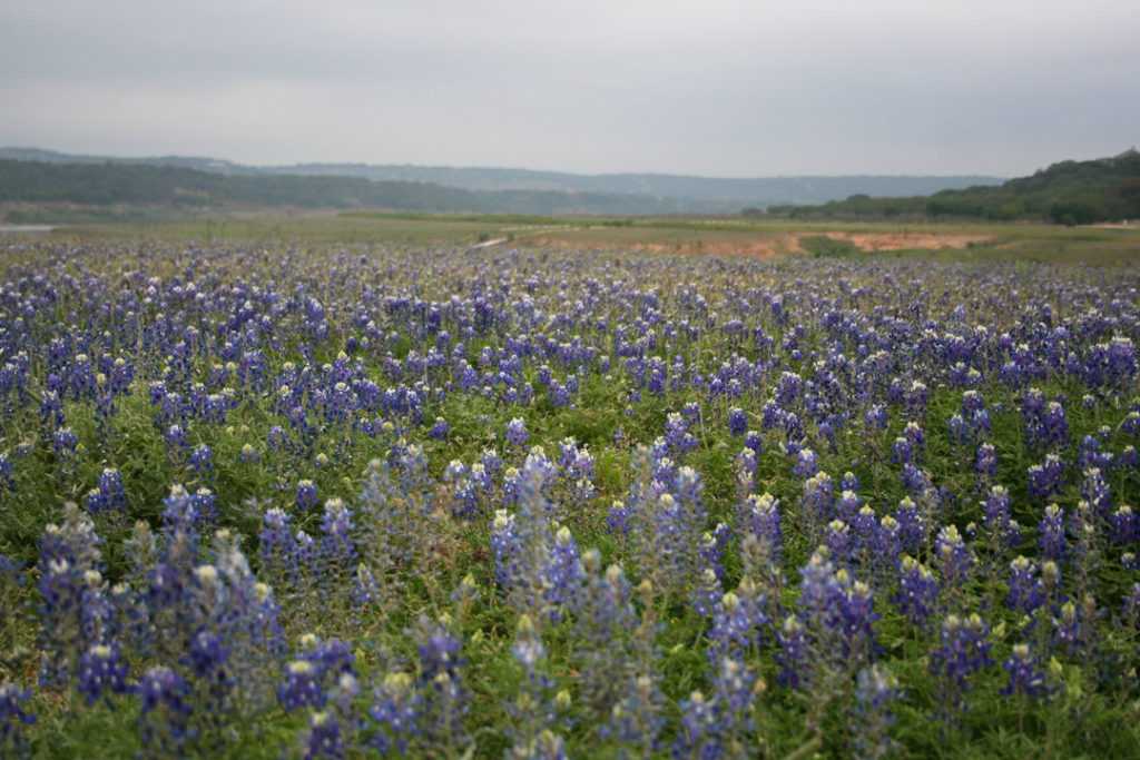 Field of bluebonnets in Turkey Bend Recreational Area outside of Austin, TX