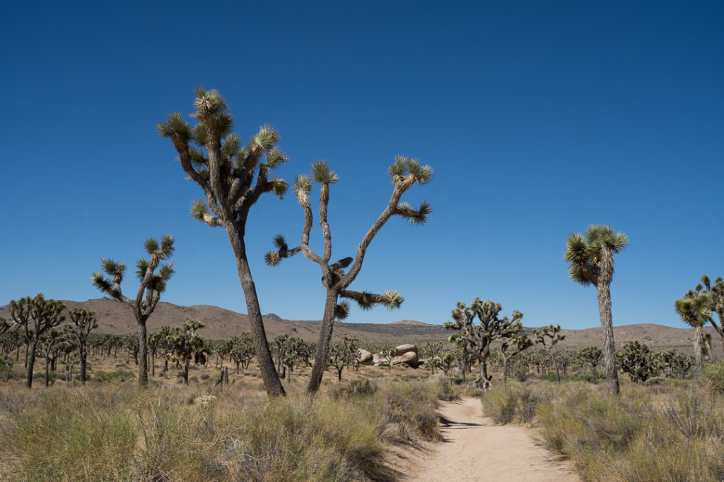 Joshua Trees in the National Park
