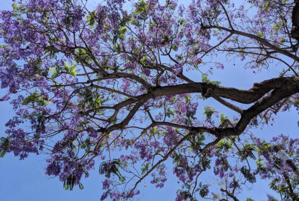Looking up at a purple Jacaranda tree - blue sky