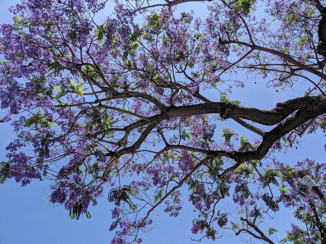 Looking up at a purple Jacaranda tree - blue sky